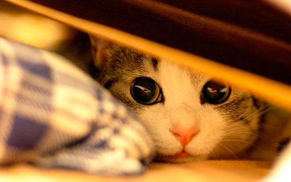 Психоэмоциональное состояние оказывает большое воздействие на организм кота