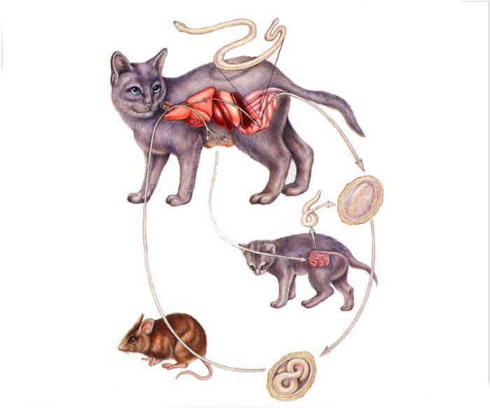 Путь заражения кошки токсокарозом