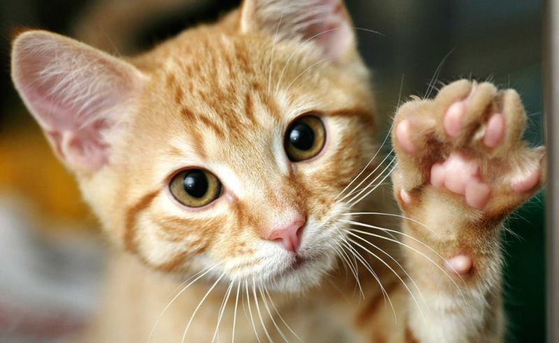 Пятый палец на передних конечностях чаще всего остается незаметен для хозяина