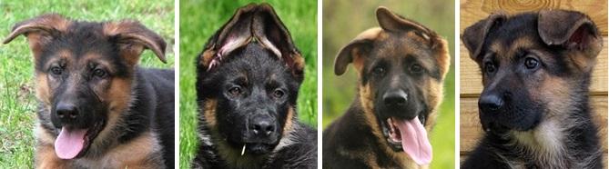 Разные положения ушей у собак. 1 - вертолет, 2 - домик, 3 - в одном направлении, 4 - обвисшие уши