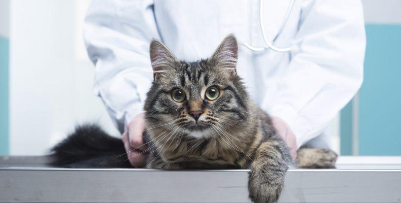 Раз в год для профилактики кота необходимо показывать ветеринару