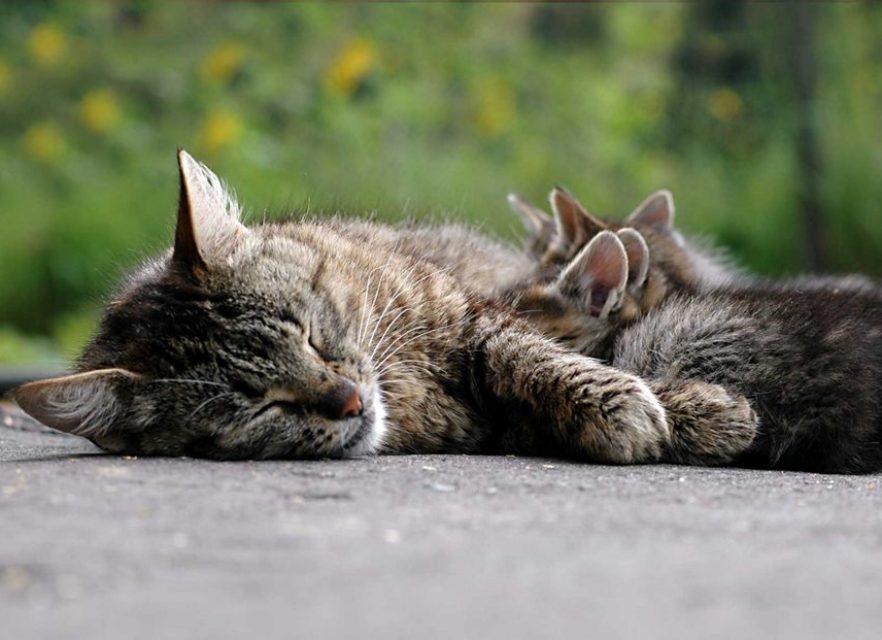 Расслоение когтей часто наблюдается у кормящий кошек