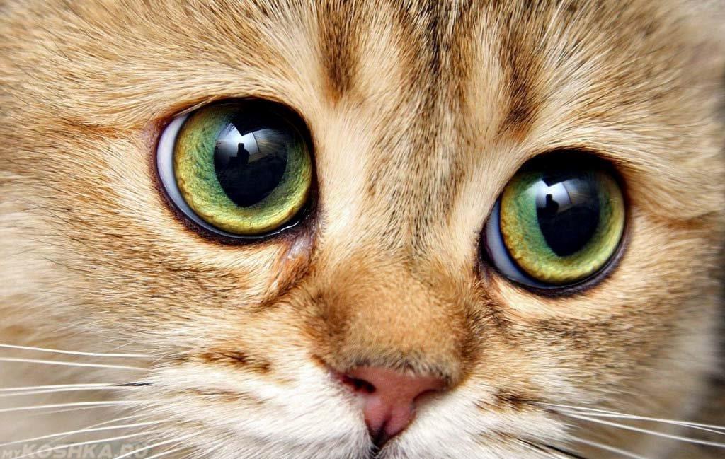 Расширенные зрачки у кошки - один из признаков изменения температуры у животного