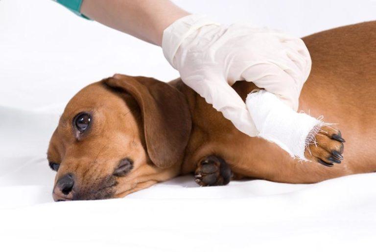 Рваные раны могут нанести серьезный урон здоровью собаки, потому залечивать их лучше под контролем ветеринара