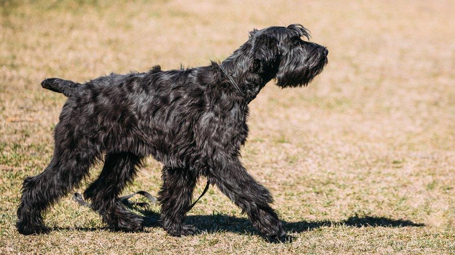 Ризеншнауцер – одна из немногих крупных пород собак, относящихся к гипоаллергенным