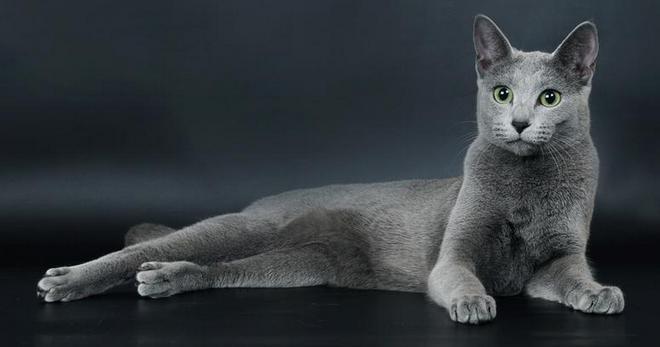 Русская голубая кошка востребована не только в России, но и за рубежом