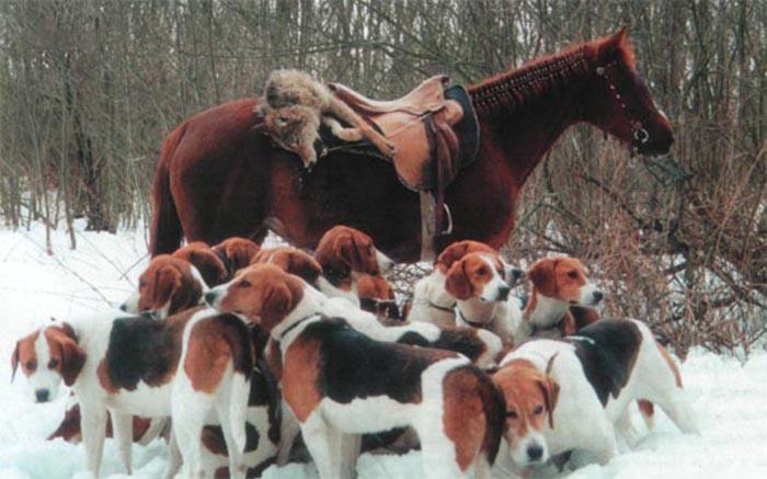 Русская пегая гончая используется для преследования зайцев, волков и косуль