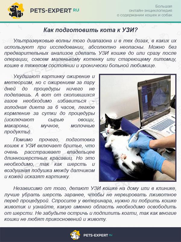 Как подготовить кота к УЗИ?