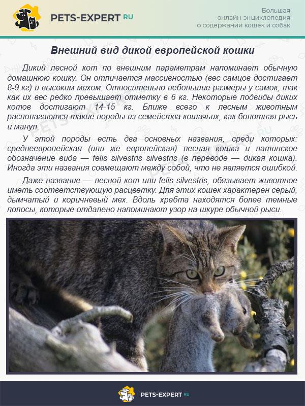 Внeшний вид дикой европейской кошки