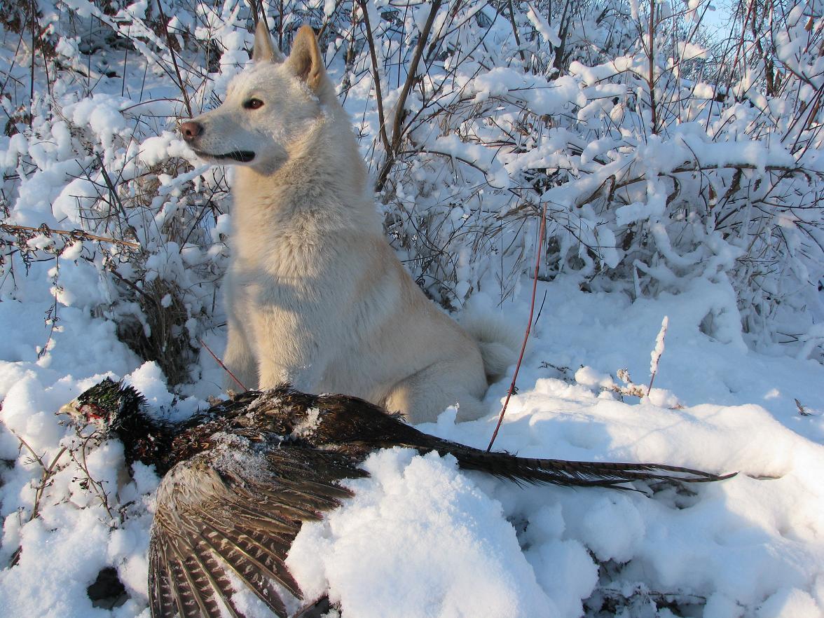 Самая популярная охотничья собака в России - западносибирская лайка на охоте