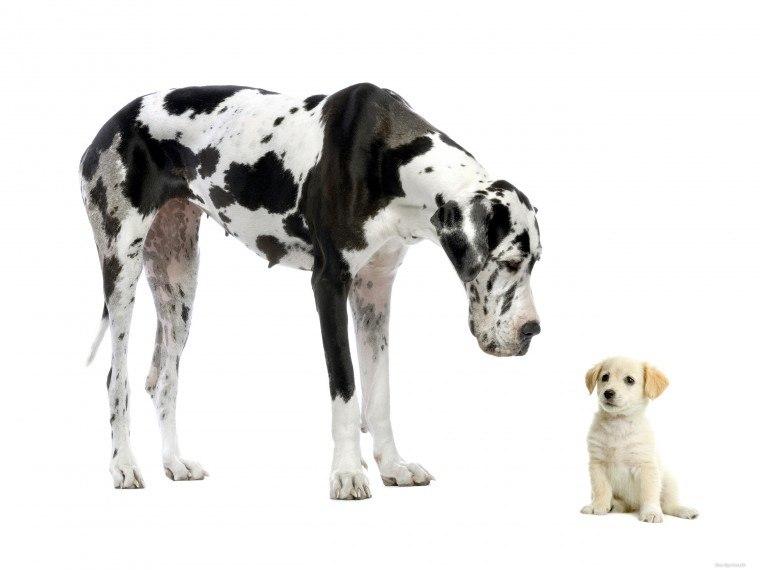 Самое главное, что может сделать хозяин - не навязывать щенку и взрослой особи общество друг друга