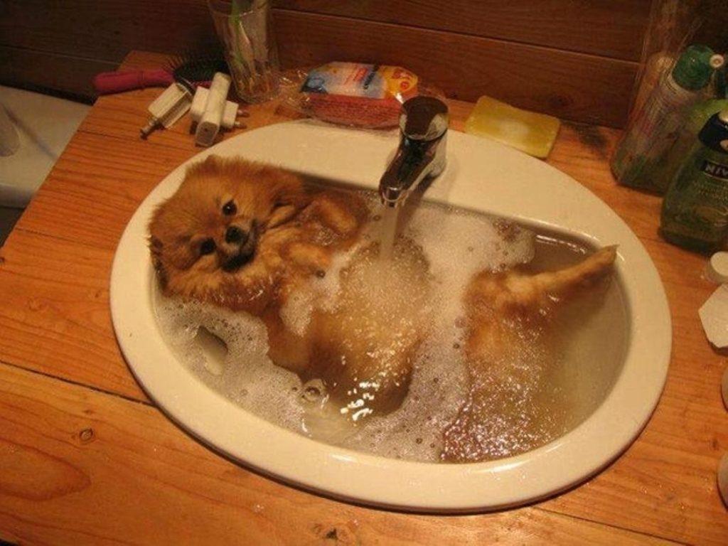 Самым уязвимым местом во время купания являются уши шпица