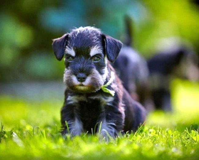 Своевременное приобщение цвергов к собачьему и человеческому обществу выработает в них хорошие черты характера