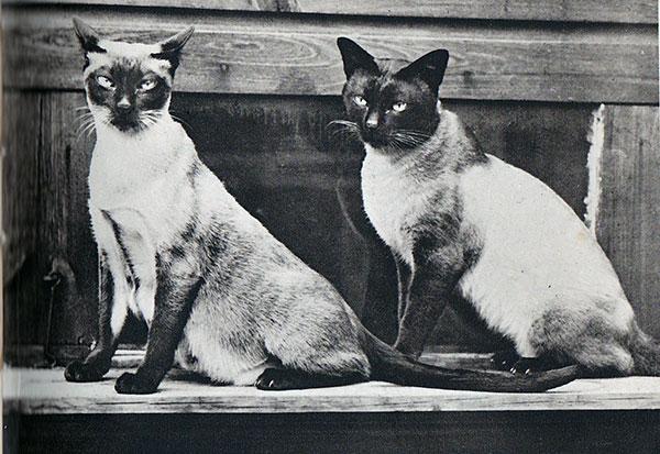 Свое название сиамские кошки получили благодаря городу Сиам, в котором и зародилась порода