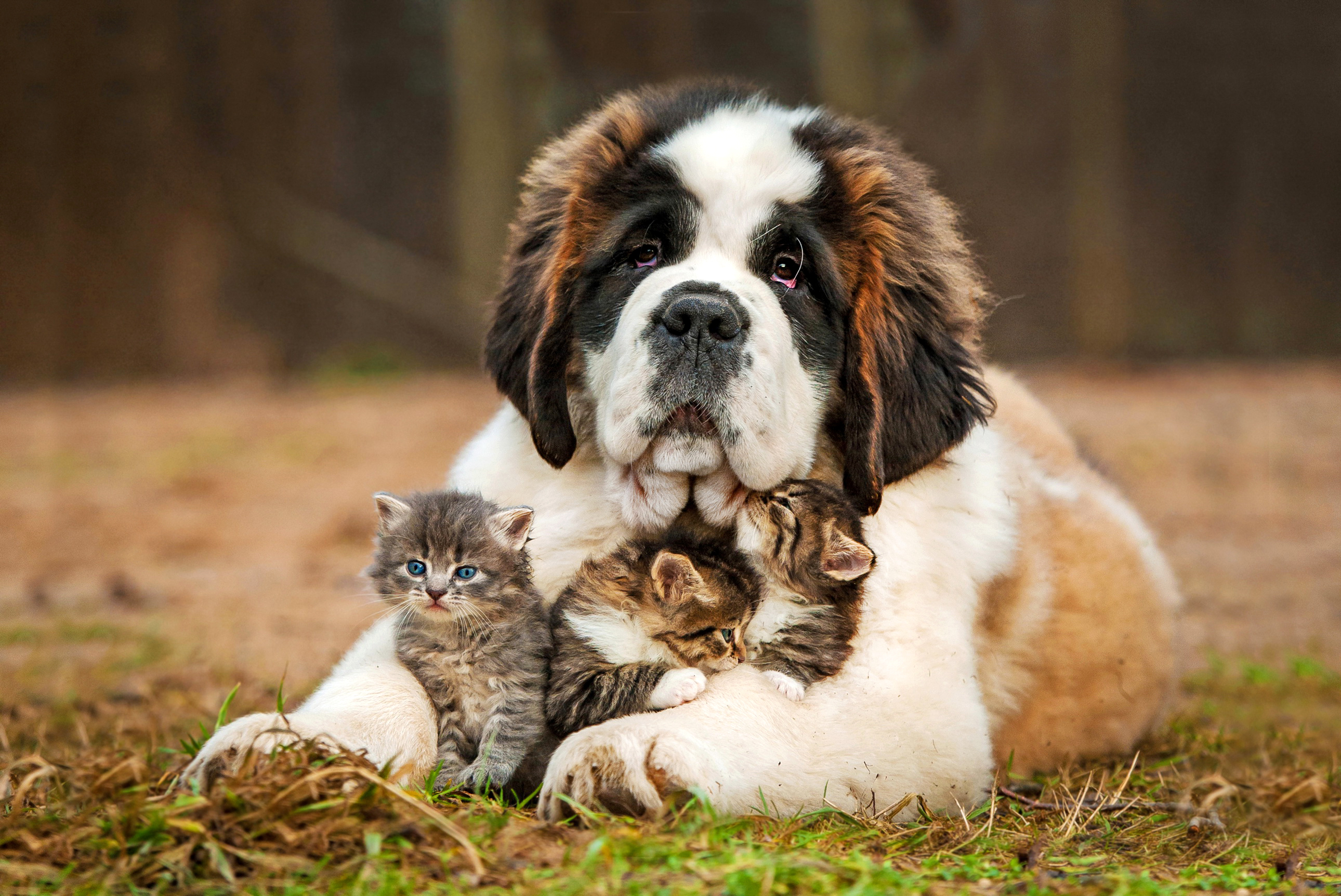 Сенбернар - отличный семейный охранник