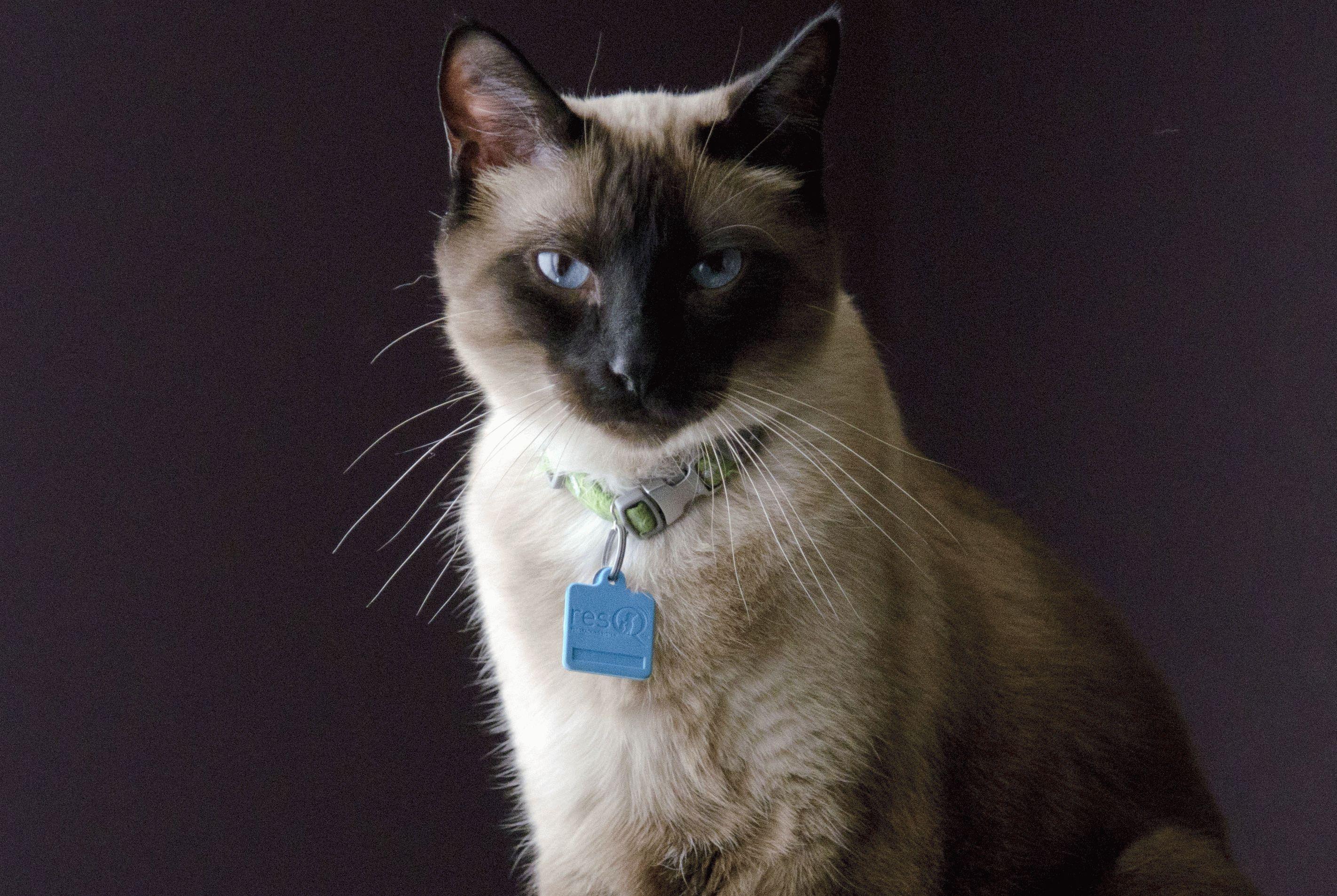 полусиамская кошка