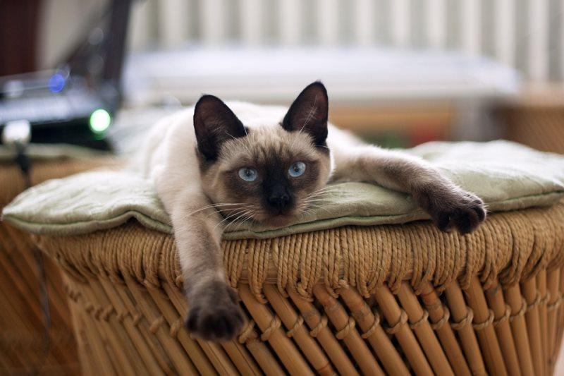 Сиамские коты сложнее прочих пород отходят от анестезии, потому важно подобрать наиболее подходящий препарат