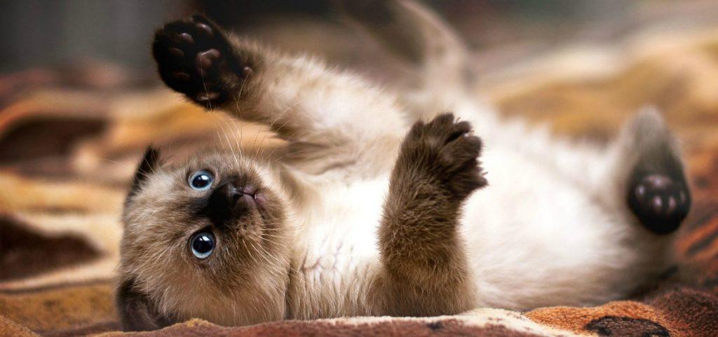 Сиамские котята стремятся всюду побывать и всюду успеть, потому следует обезопасить пространство