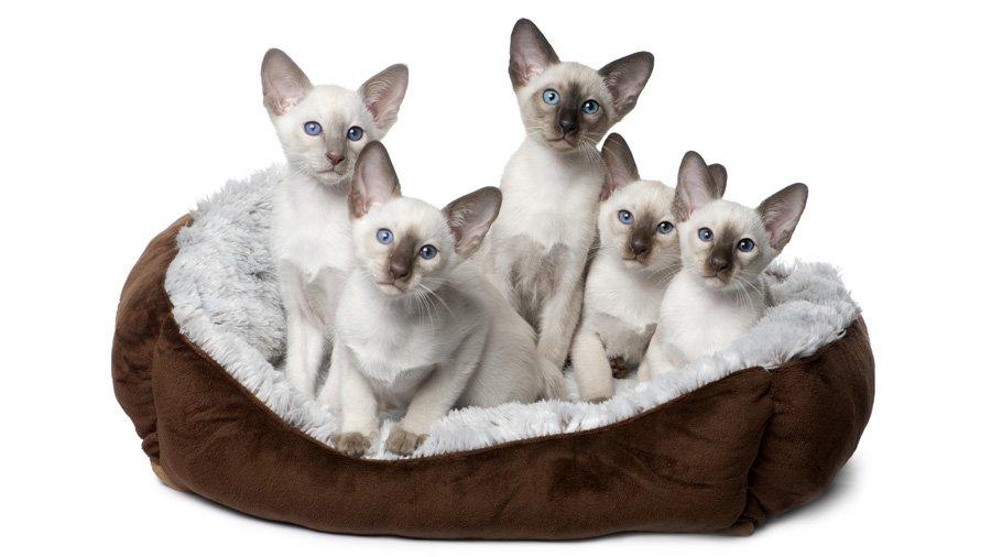 Сиамские кошки, как и все прочие, хорошо реагируют на шипящие согласные