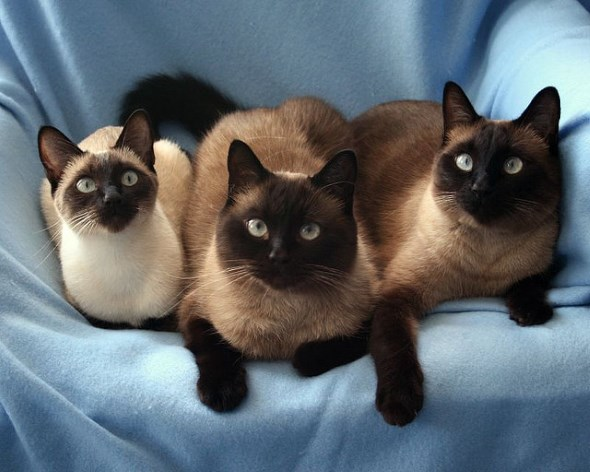 Сиамские кошки - прирожденные аристократки по характеру и повадкам