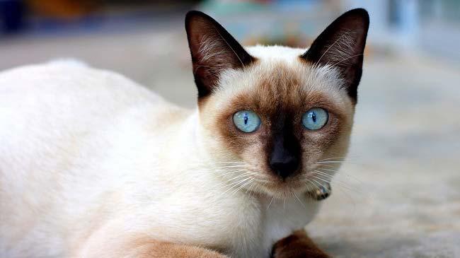 Сиамским кошкам свойственно претендовать на все свободное время хозяина