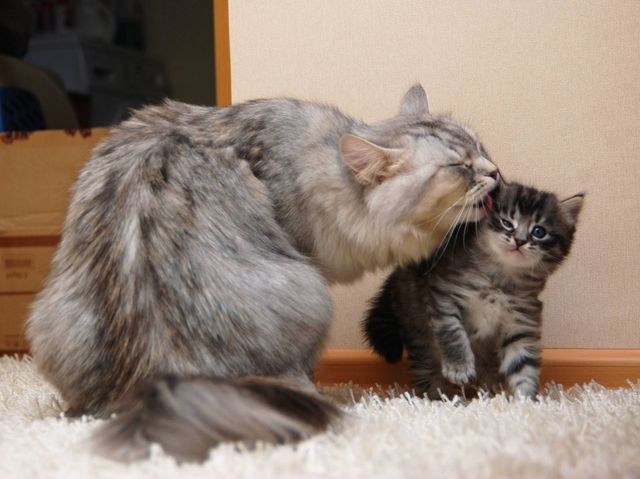 Сибирские коты обладают крутым нравом и живут в заповедниках, но способны адаптироваться и к домашним условиям