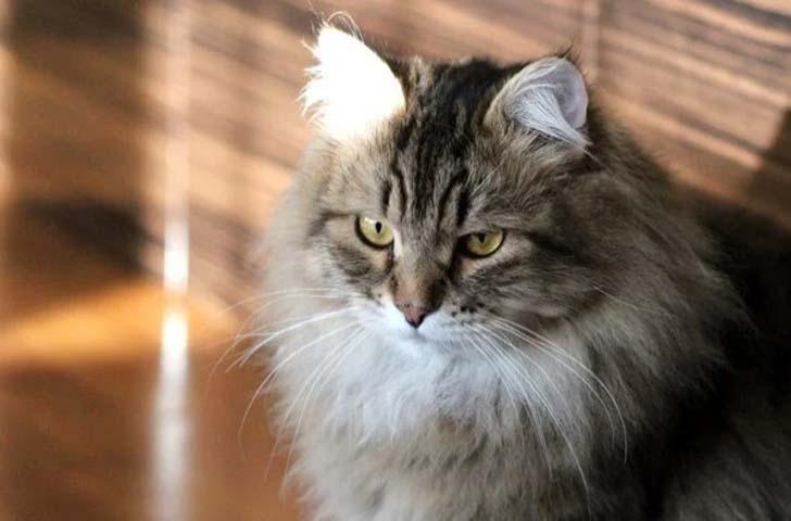 Сибирские кошки в числе самых миролюбивых