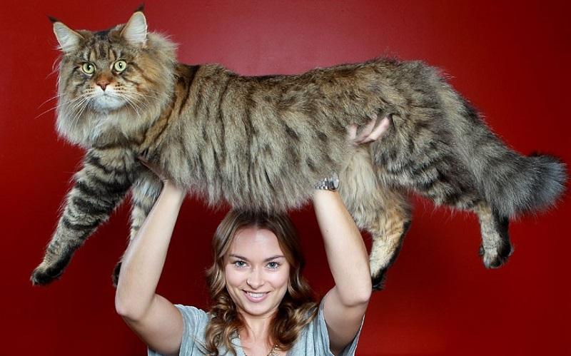 Сибирские, норвежские коты, редголлы вырастают до внушительных размеров