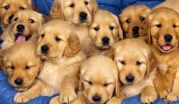 Сколько бы щенков не родилось в помете, в качестве алиментов вы можете забрать только одного
