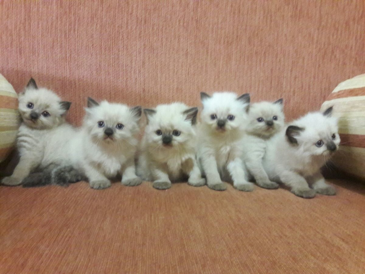 Слишком раннее отлучение котят от матери чревато дальнейшими проблемами с воспитанием