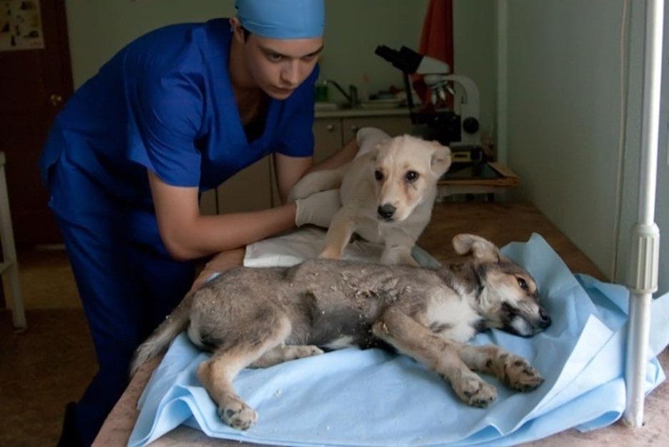 Собака, больная гастоэнтеритом
