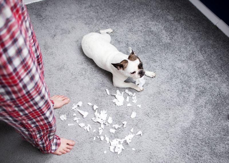 Собака дерет обои