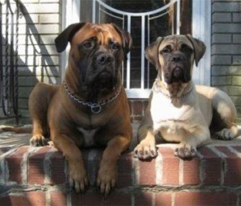Собака для охраны частного дома