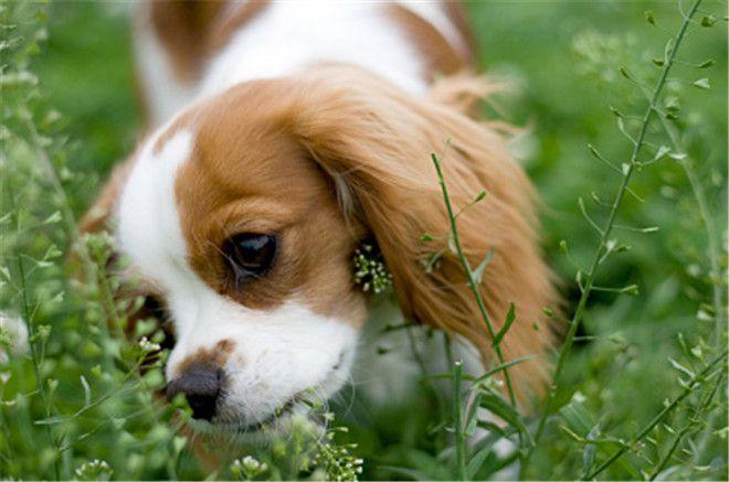 Собака ест траву