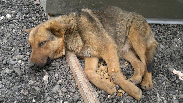 Собака, заболевшая чумкой