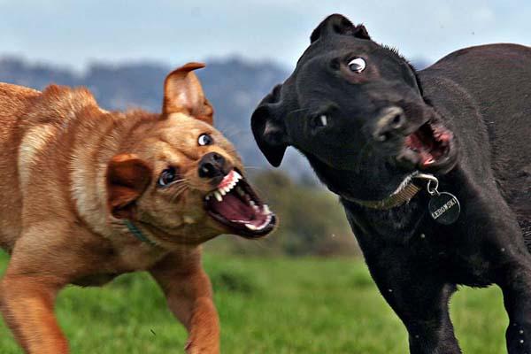 Собака может проявлять агрессию из-за недостатка социализации