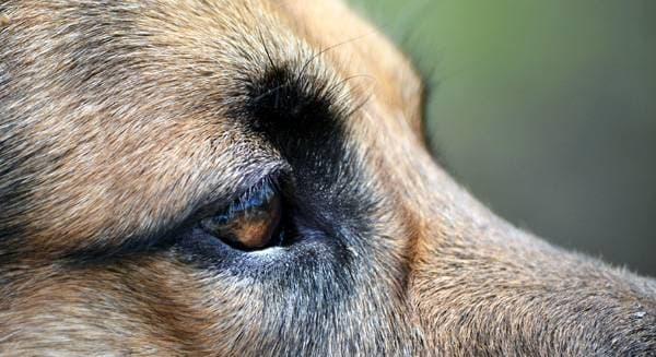 Собака может щурить глаз из-за попавшей в него соринки
