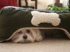 Собака несоциализированна, нападает по причине страха