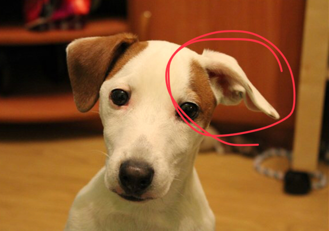 Собака с заломом на ухе