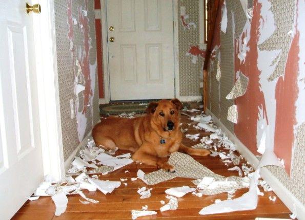 Собака с улицы на начальном этапе привыкания к дому может вести себя так