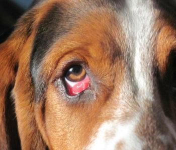 Собака чешет глаза