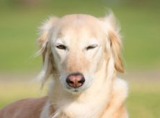 Собака щурит глаза