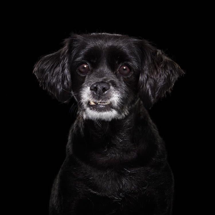Собаки с черным окрасом шерсти жаждут доминировать и нуждаются в жесткой дрессировке