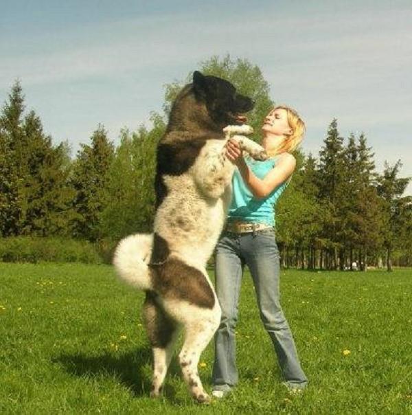 Согласитесь, сломать такую собаку физически невозможно, единственный шанс стать ей хозяином - заслужить безграничное уважение