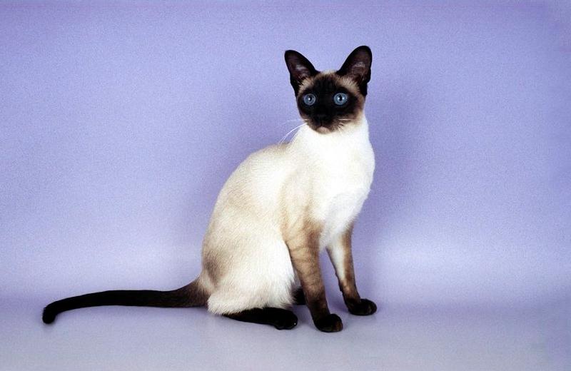 Согласно Библии, сиамская кошка сочетает в себе кровь ловкой обезьяны и храброй львицы