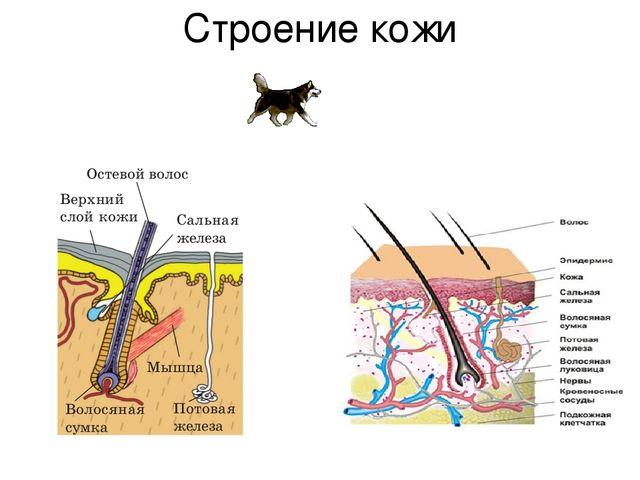 Строение кожи собаки