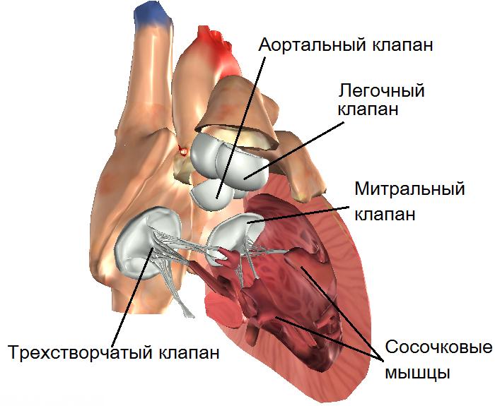 Строение собачьего сердца