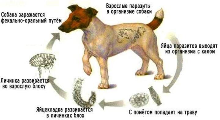 Схема попадания паразитов в организм собаки