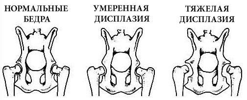 Тазобедренный сустав собаки: норма и патологии