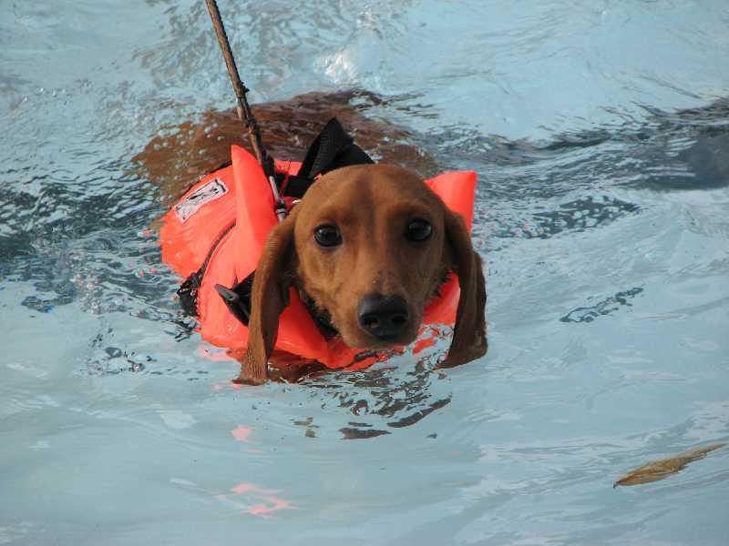 Такса плавает в бассейне